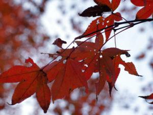 箱根『強羅公園』紅葉